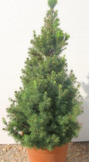 Picea Albertiana Cónica