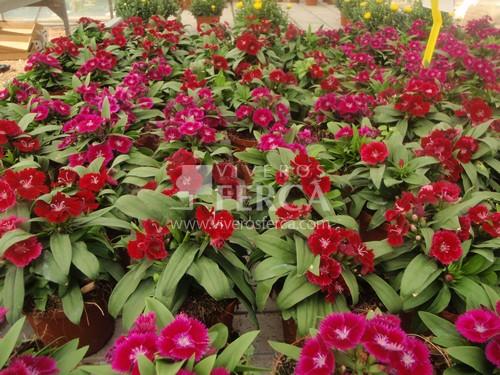 Planta de flor: clavel chino