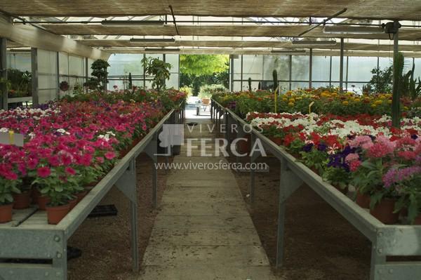 Planta de flor viveros ferca viveros ferca for Viveros de plantas de jardin